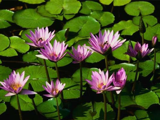 Wasserlilien (1)